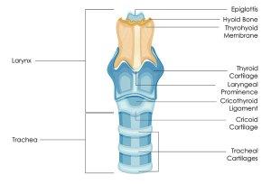 Larynx (Voice Box) Cancer