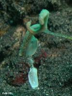 Antennarius striatus : un parasito ó huevos ?? que estan colgado por error en el señuelo