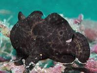 Ranisapo de Commerson (Antennarius commerson) 4cm aprox.