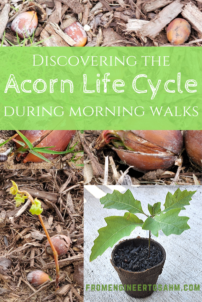 Discover the acorn life cycle! Find acorns, and sprouting baby oak trees to discover what happens after an acorn drops.