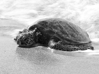 Honu Coming To Rest on Anaehoomalu Beach, Waikoloa