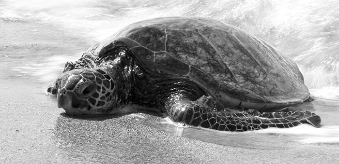 Honu, turtle, making it's way up the beach to rest