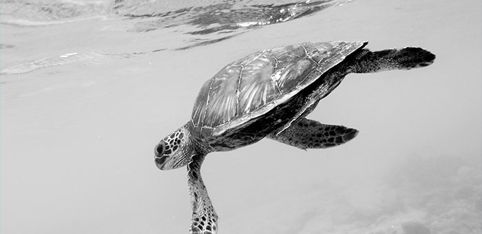 Hawaiian turtle peers back at me while swimming underwater at Kahaluu Beach Park.