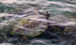 Turtle comes up for air at Anaehoomalu bay
