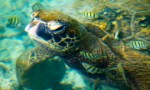 Turtle sleeps just under the surface of the water while being cleaned by some fish, Waikoloa, Hawaii
