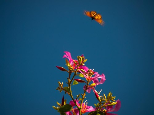 Butterfly flying towards a beautiful purple flowered orchid tree