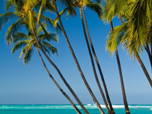 Palm trees against a bright blue sky and turquoise ocean. Hawaii