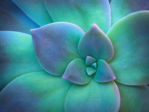green and purple leaves of a succulent