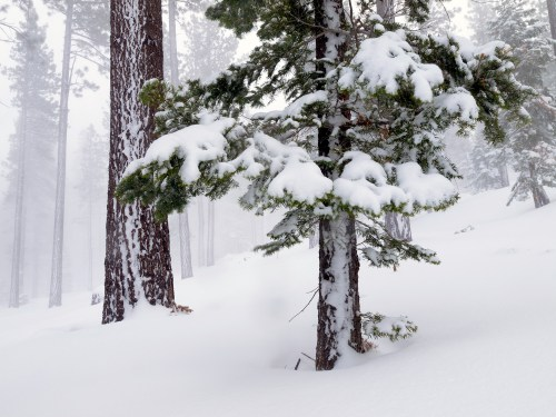 Pine trees covered in fresh snow during a snow storm