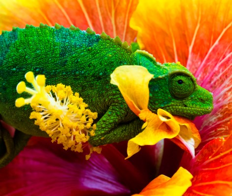 Jackson Chameleon on a hibiscus flower