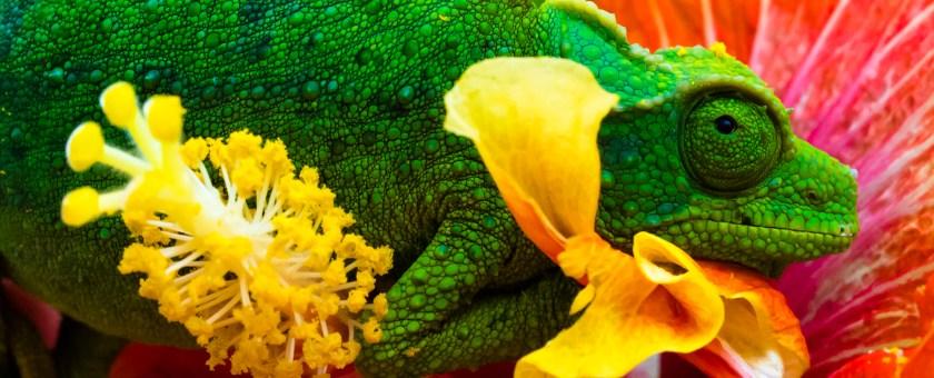 Jackson Chameleon on a hibiscus flower