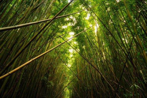 Bamboo forest in the Haleakala National Park on Maui
