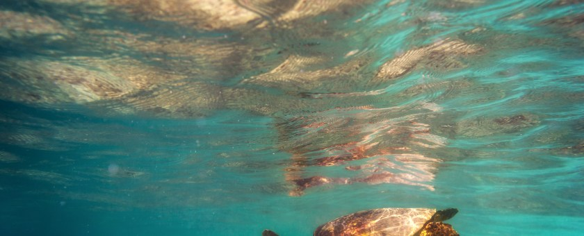 Turtle reflected in the underside of the water