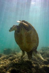 Green Sea Turtle doing a hand stand underwater