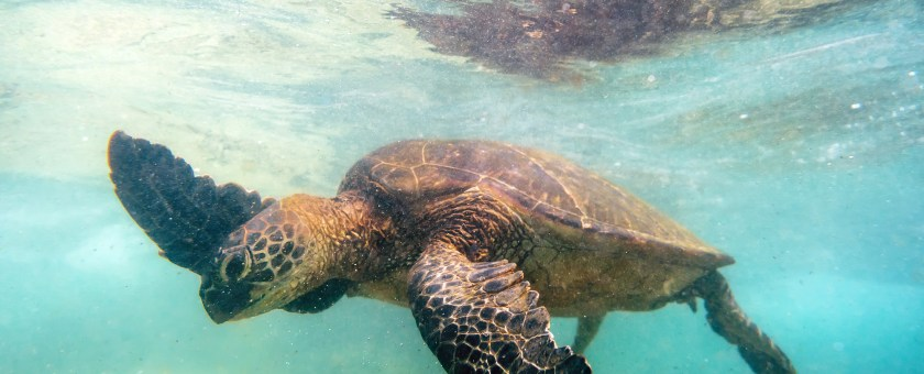photo of a green sea turtle while snorkeling at Mahaiula beach in Hawaii