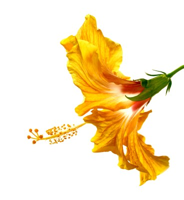 Yellow Hibiscus flower against a white background