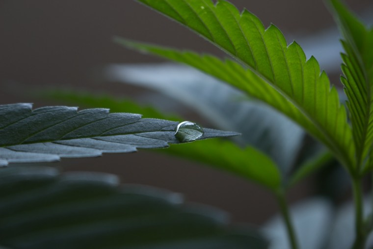 Morning dew on cannabis plant.
