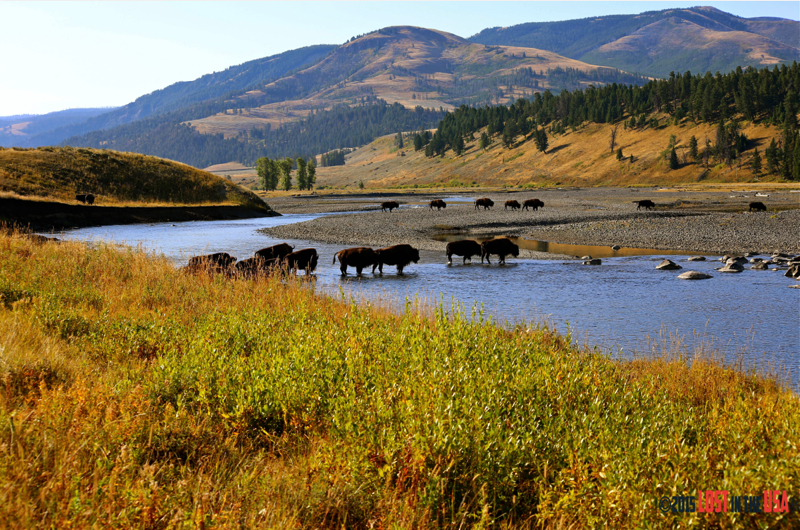 Yellowstone et ses bisons