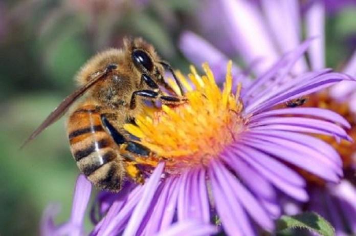 abejas abejorros