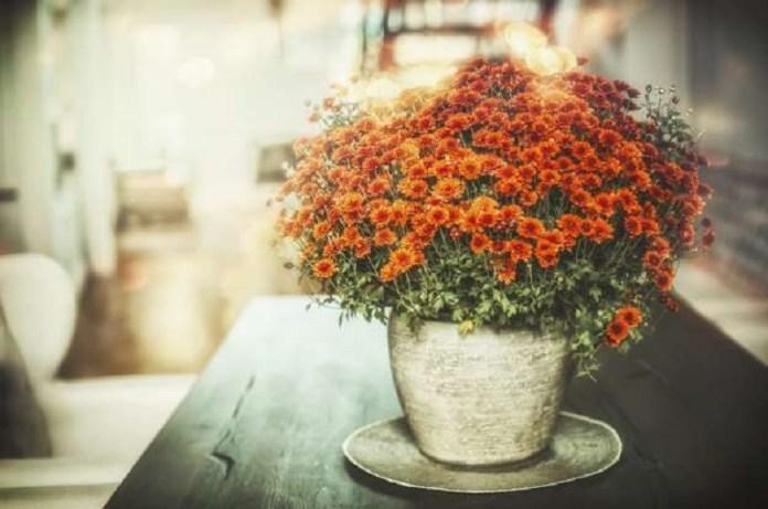 crisantemos plantas
