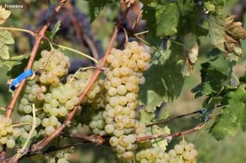 Vendemmia-2014-vigne-cantine-le-macchia-Castelfranco-Rieti-06
