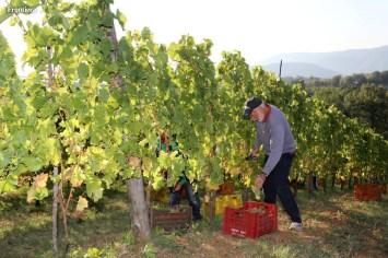 Vendemmia-2014-vigne-cantine-le-macchia-Castelfranco-Rieti-10