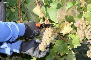 Vendemmia-2014-vigne-cantine-le-macchia-Castelfranco-Rieti-12