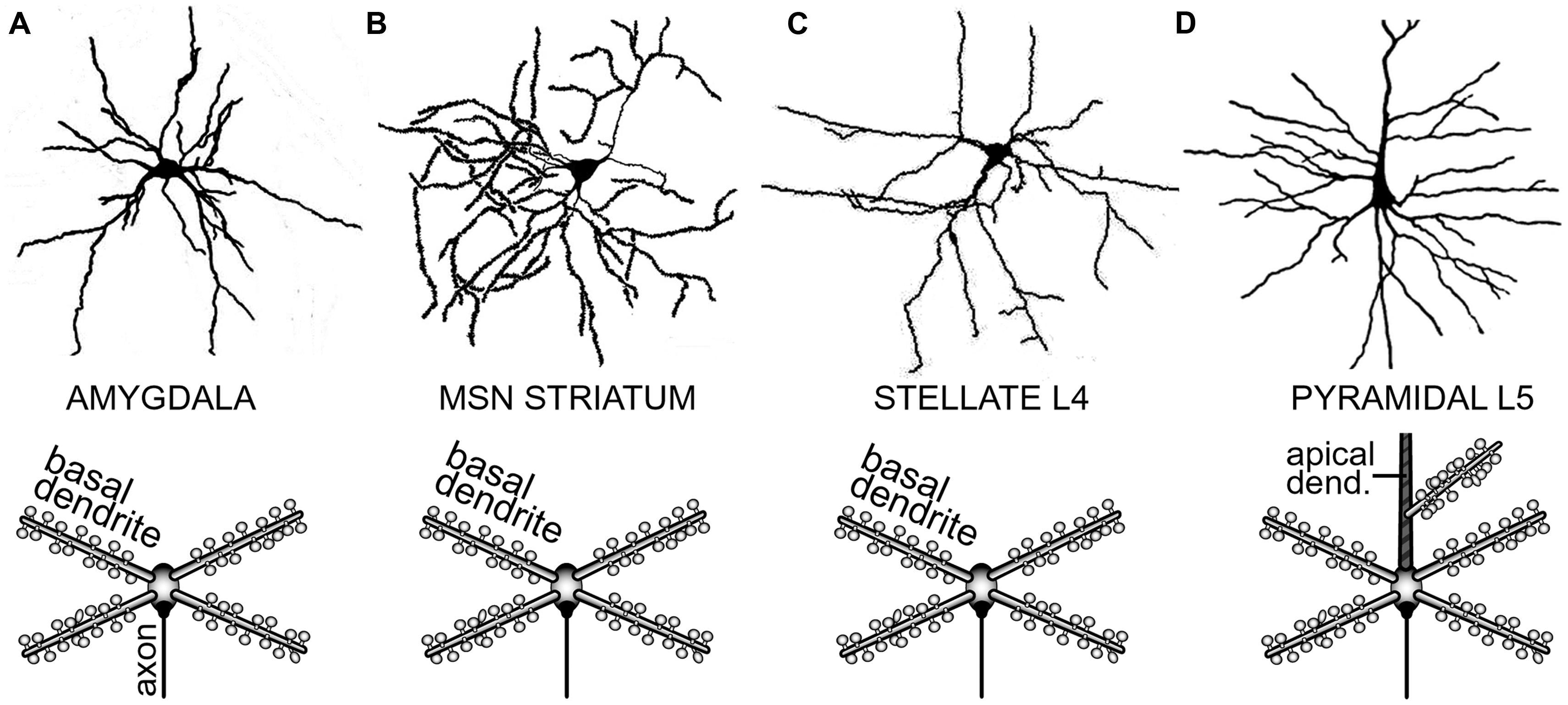 Motor Neuron Motors And Neurons