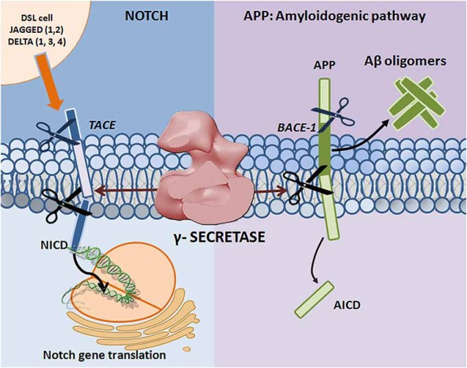 「notch signal pathway gamma amyloid」の画像検索結果
