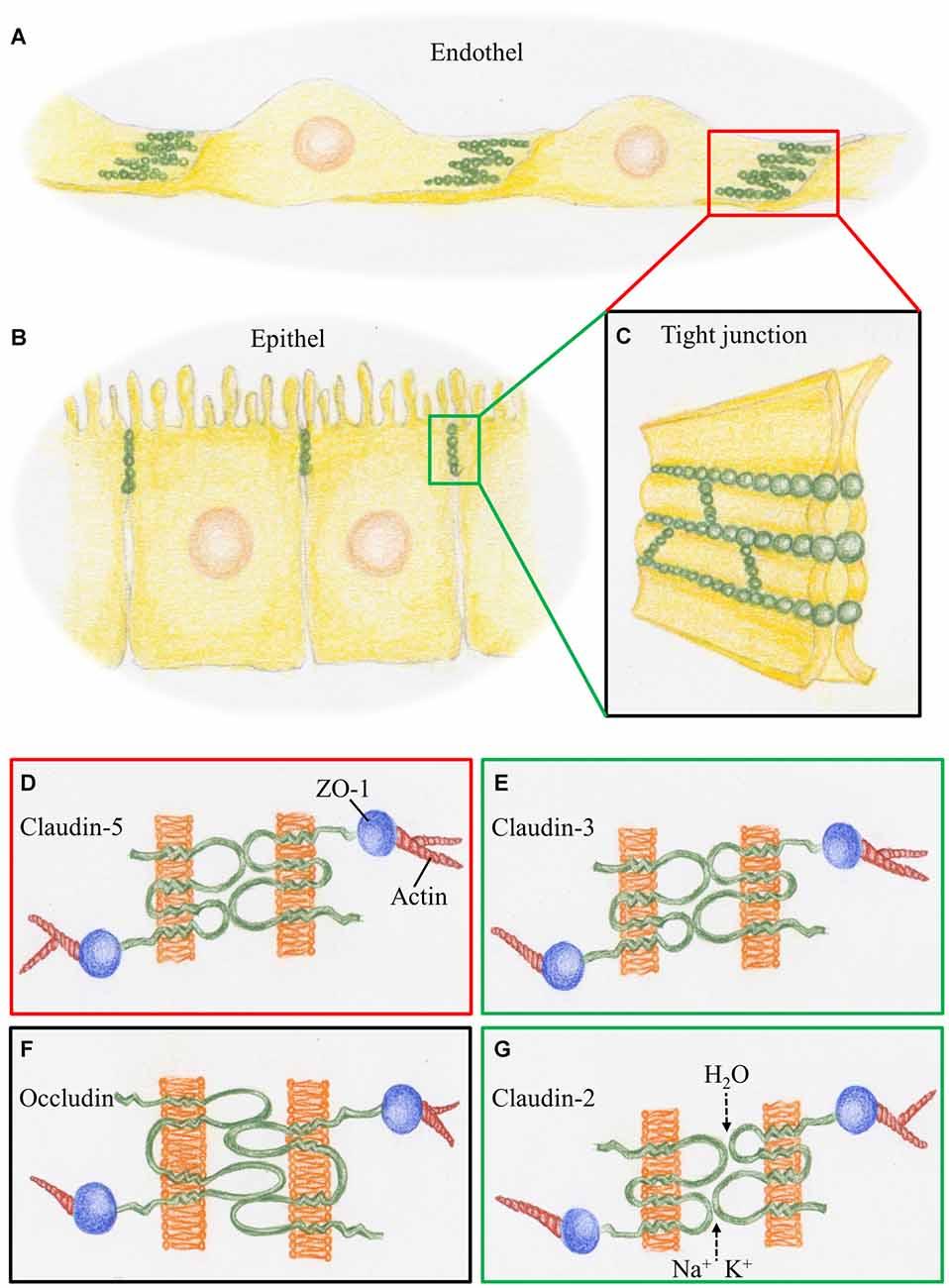 Csf Choroid Plexus Cells