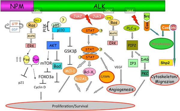 Frontiers | ALK signaling and target therapy in anaplastic ...