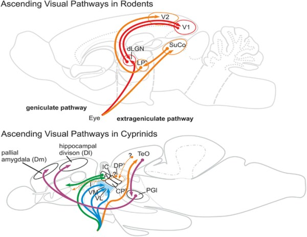 Frontiers | What is the Thalamus in Zebrafish? | Neuroscience