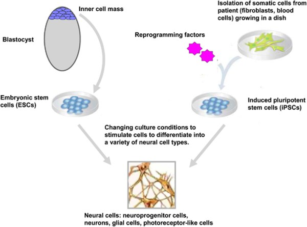 Frontiers   Human Pluripotent Stem Cells: Applications and ...