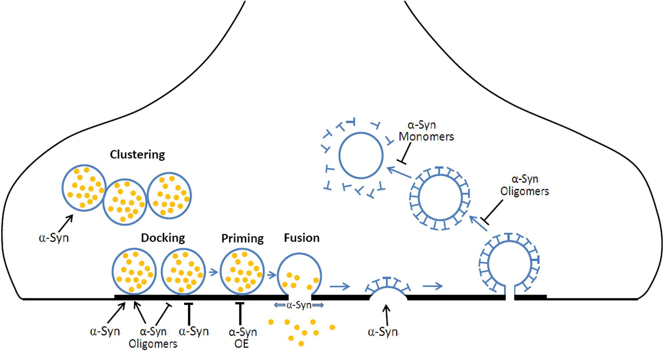 27 Endocytosis And Exocytosis Worksheet