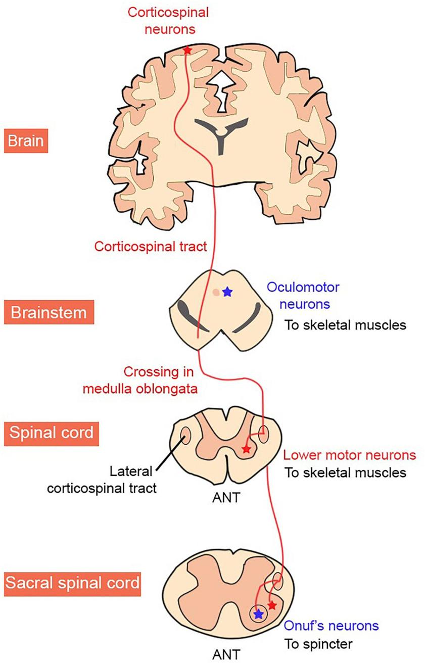 Frontiers   Motor Neuron Susceptibility in ALS/FTD ...