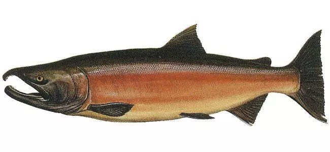 salmone-selvaggio-argento-coho