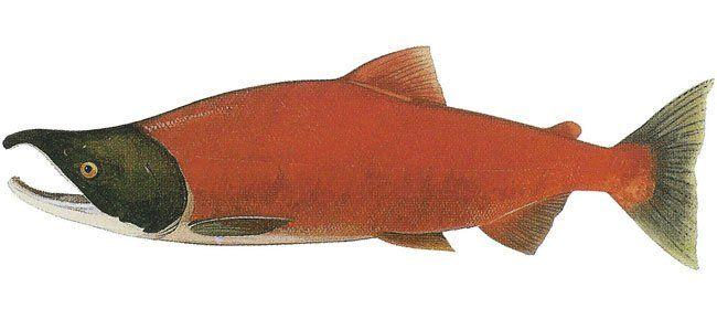salmone-selvaggio-rosso-sokaye