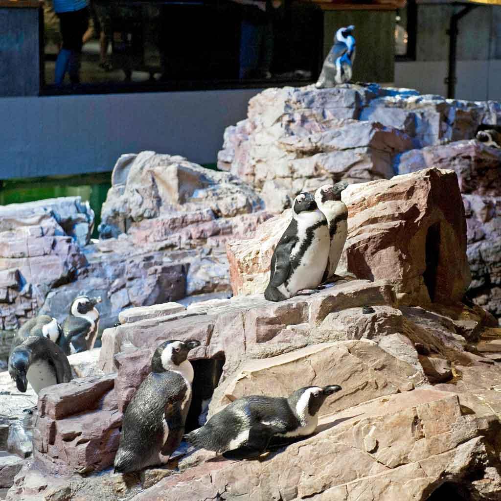 Closeup of African penguins in an enclosure at the New England Aquarium.