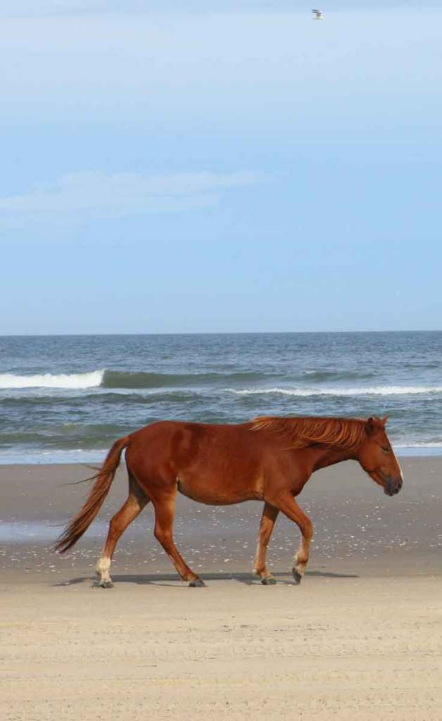 A rusty red wild Mustang horse walking along Carova Beach in North Carolina.