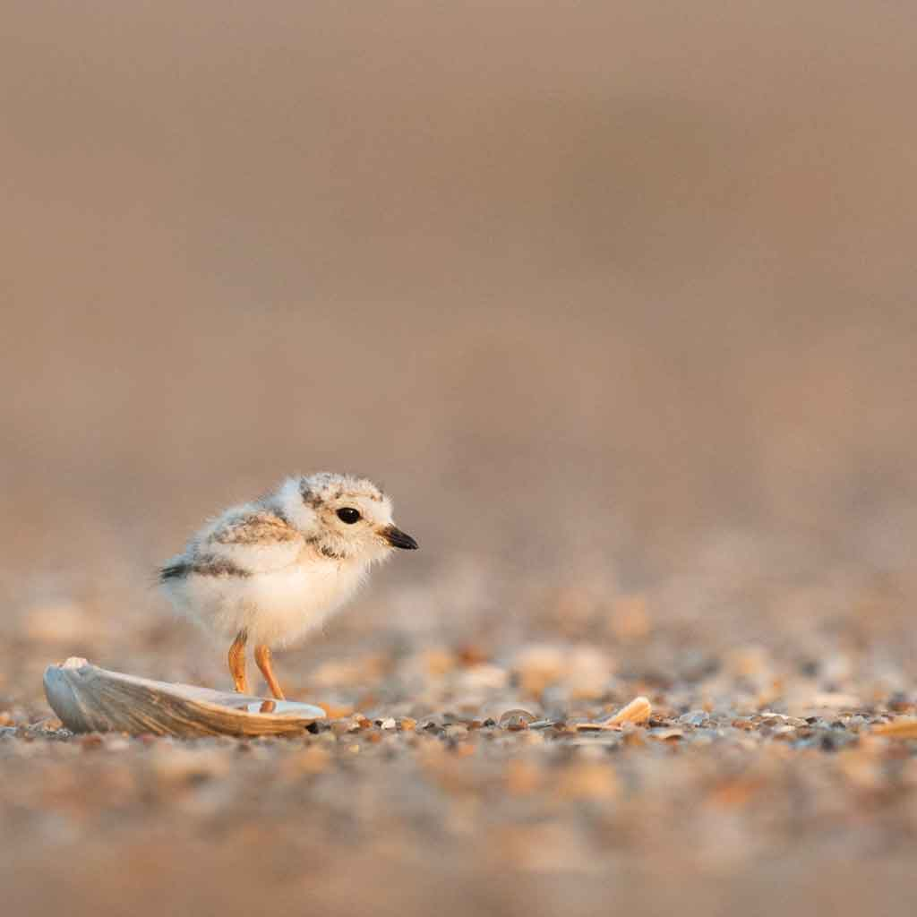 Closeup of a piping plover chick standing on sand.