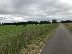 Leg11-Cows
