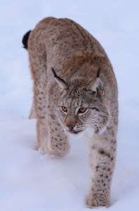Lynx, Polar Park, Foto: Fru Amundsen ©