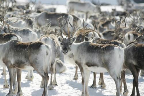 Elke haar van een rendier is hol, waardoor de vacht zo geschikt is voor het arctische klimaat. Foto: C.H. - Visitnorway.com