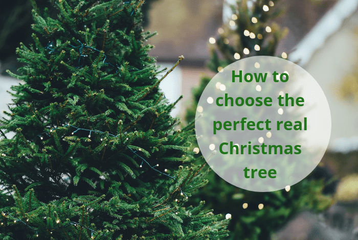 How to choose the perfect real Christmas tree