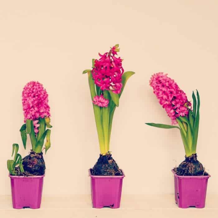 Bargain Hyacinth