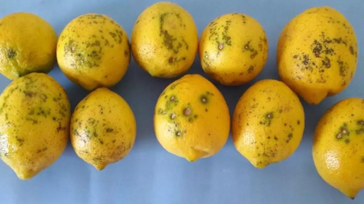 limoni argentini