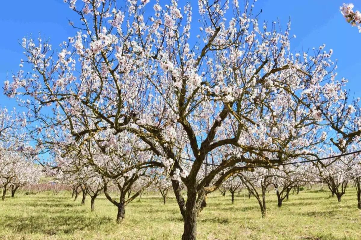 Mandorle-Donnalia-albero-in-fiore