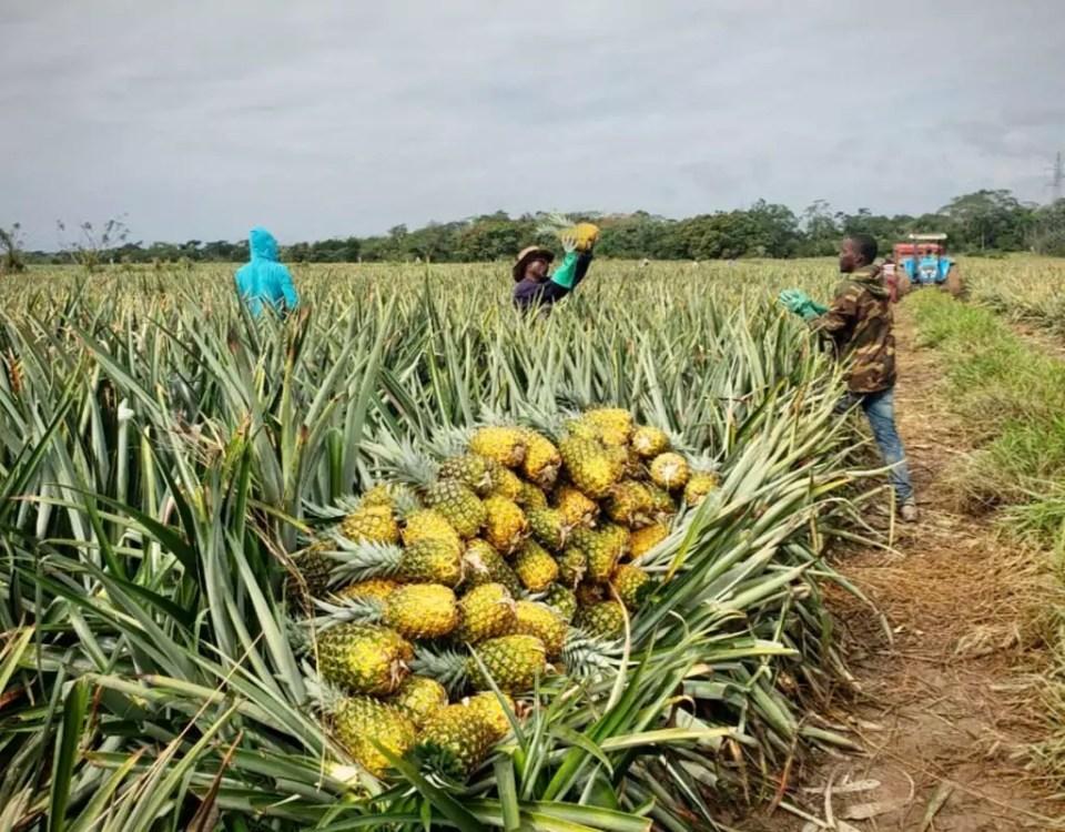 Nicofrutta-ananas-repubblica-dominicana-piantagione