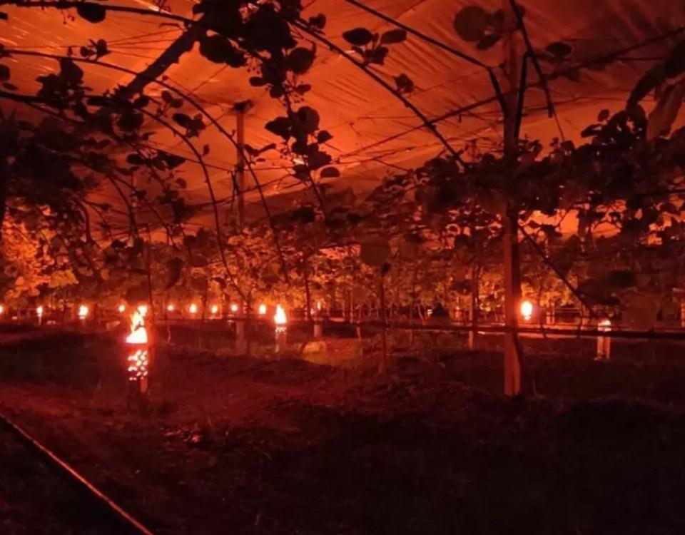 Gelo-frutteto-kiwi-candele-2021