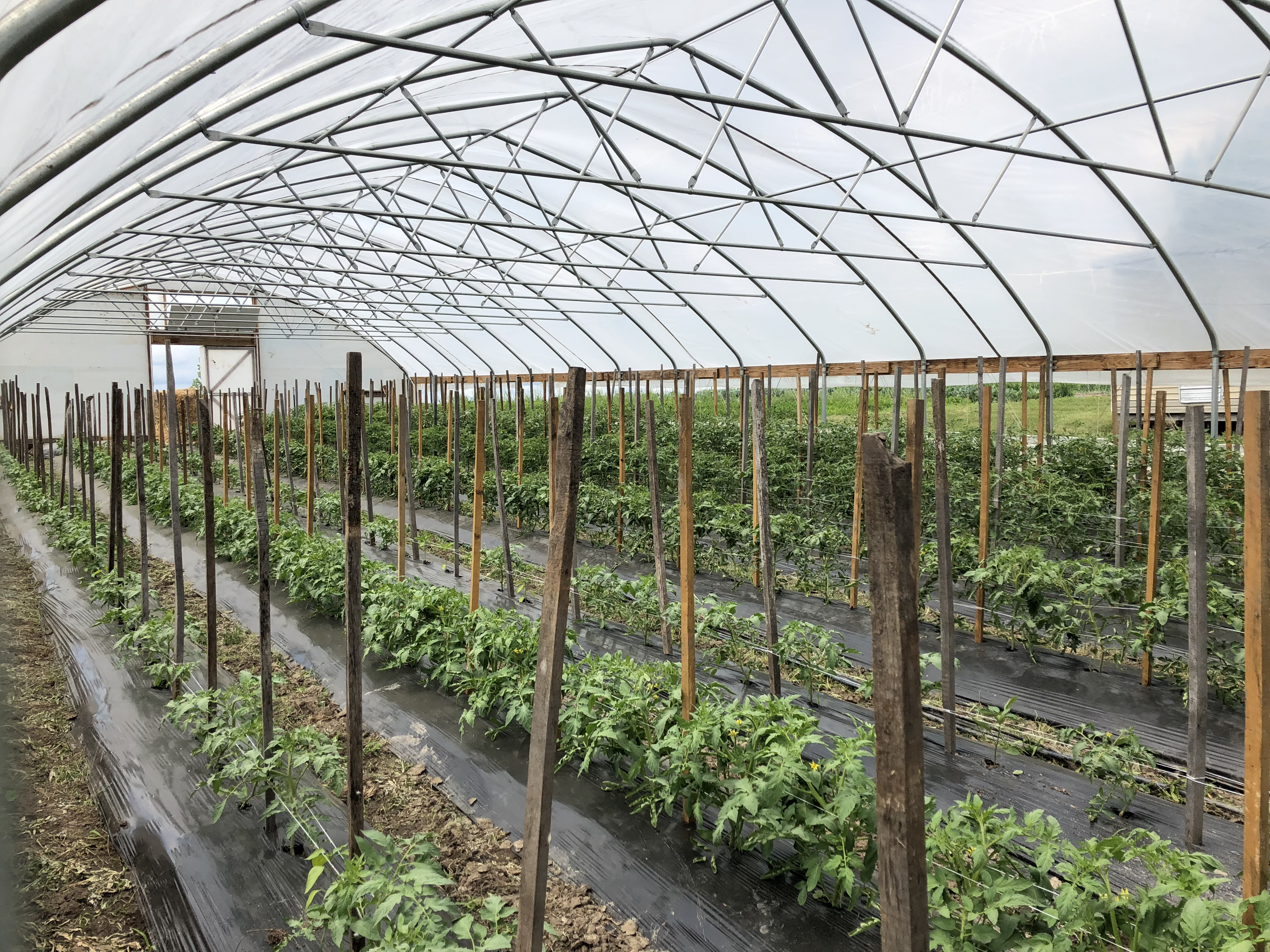 Winter planted produce in high tunnels on Fruitful Hills farms near Trenton, Missouri
